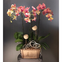 Phalaenopsis in wooden vase